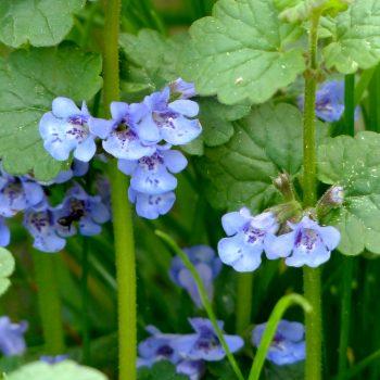 Gundelmann Heilpflanzen