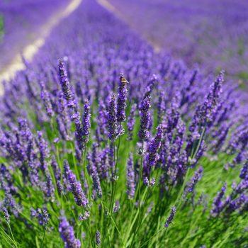 Lavendel Heilpflanzen