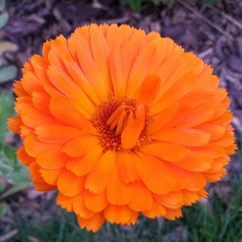 Ringelblume Heilpflanzen